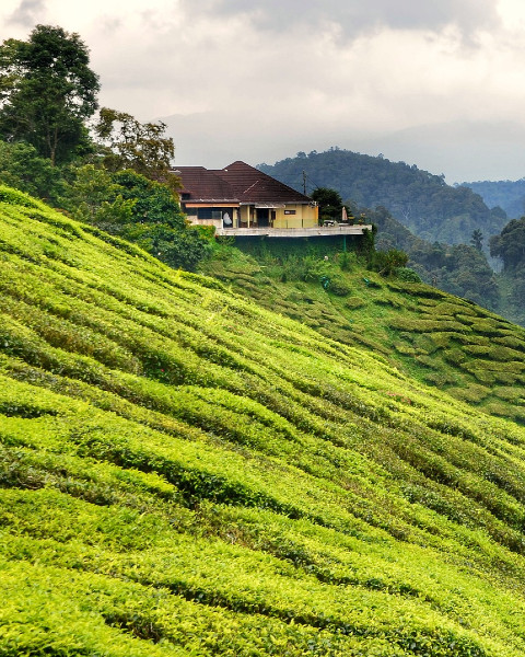Plantations de thé, Cameron Highlands, Malaisie © Richard Mcall